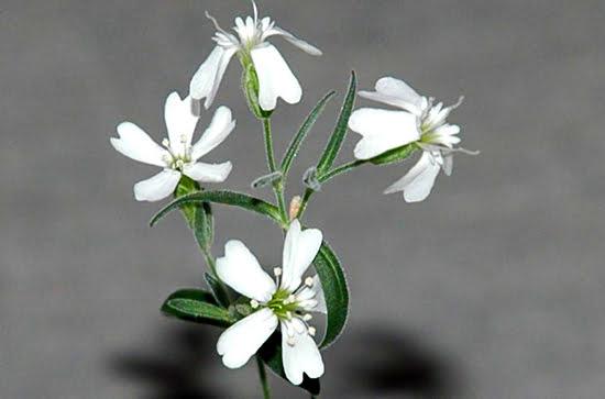 silene stenophylla permafrost-plant-thumb-550xauto-84203