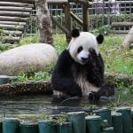 Cum se racoresc ursii Panda in China (VIDEO)